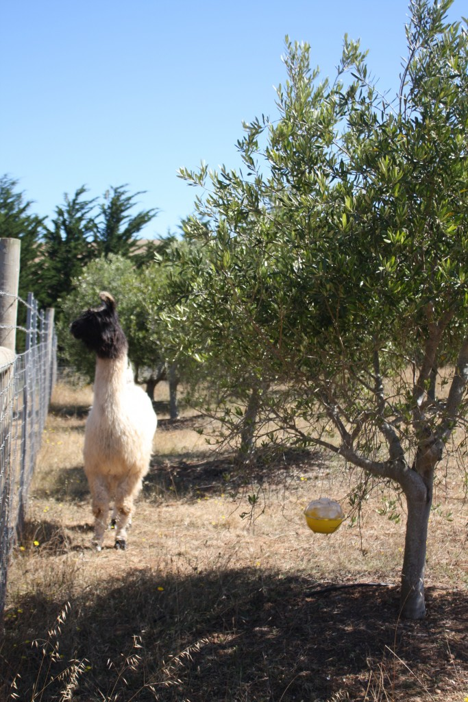 Guard Llama in the olives for Gardenista by Sylvia Linsteadt