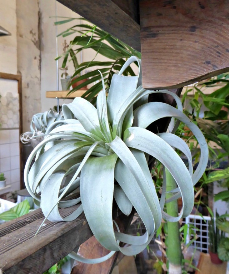 airplan-tillandsia-conservatory-archives-london-shop-gardenista
