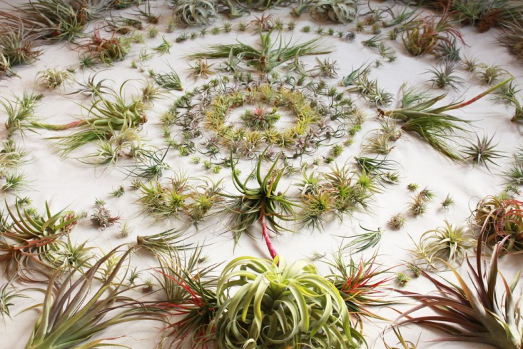 airplants-tillandsia-solabee-flowers-gardenista-e1471292801941