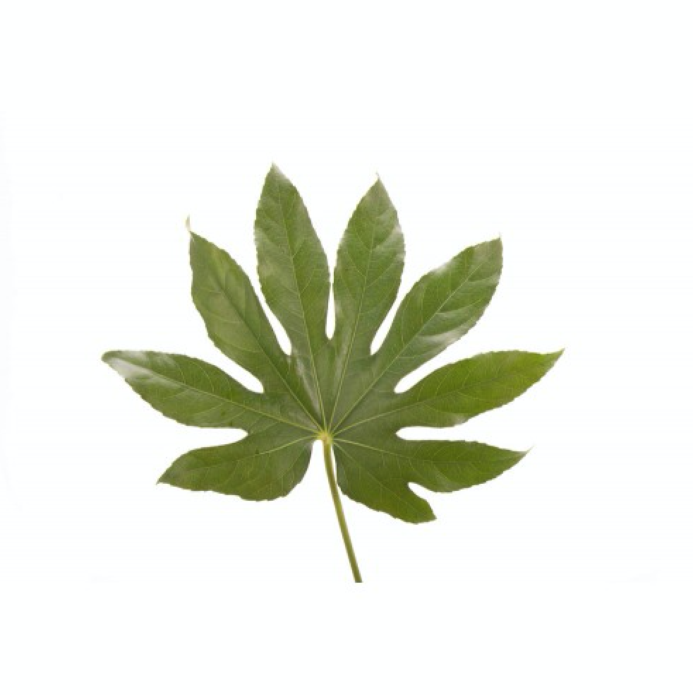 Aralia Leaves by Flower Muse