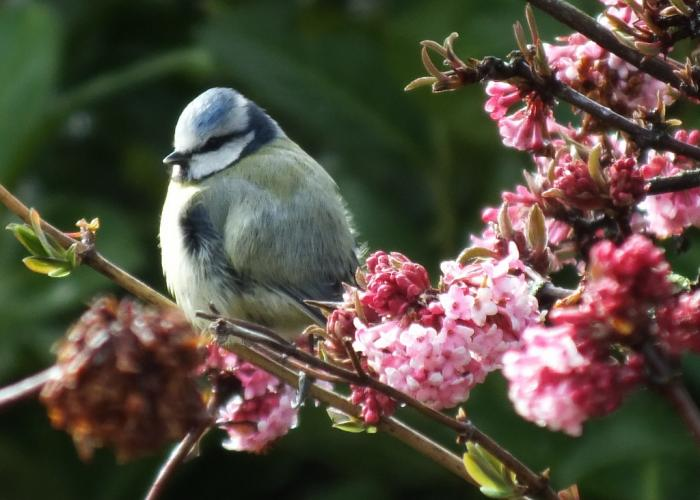 blue-tit-on-viburnum