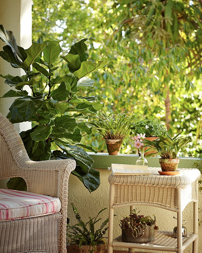 fiddle-leaf-fig-michelle-porch-gardenista