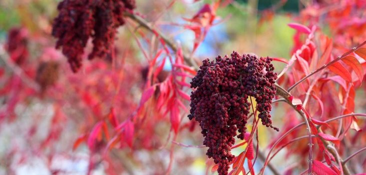 shrubs-colorful-fall-foliage-marie-viljoen-gardenista-sumac-e1475715541335