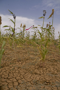 Recurring droughts have destroyed most harvests in the Sahel. Credit: Kristin Palitza/IPS