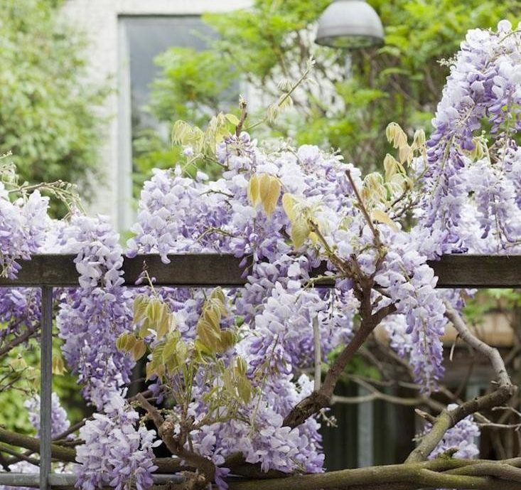 wisteria-plant-vine-tree-bloom-gardenista